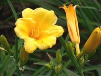 Yellow Cup Flowers