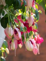 Pink Hanging flowers closeup