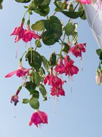 Pink hanging flowers